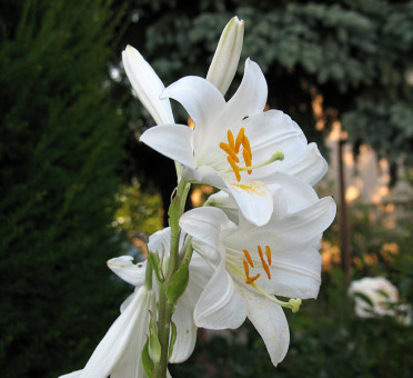Lily_beautiful_white_pink_flower (3)