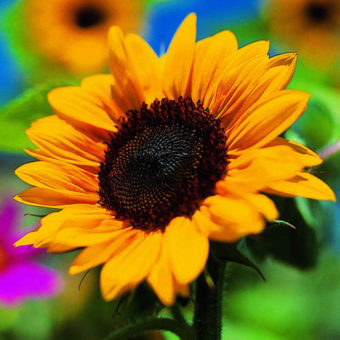 annuals-sunflower-m-x
